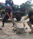 Personal de Diprona y de la PNC rescataron al lagarto cuando deambulaba en el área urbana de Melchor de Mencos. (Foto Prensa Libre: Rigoberto Escobar)
