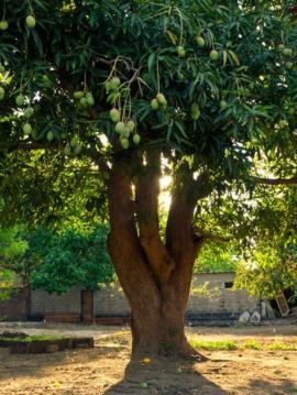 Bangladesh considera al mango su árbol nacional. GETTY IMAGES