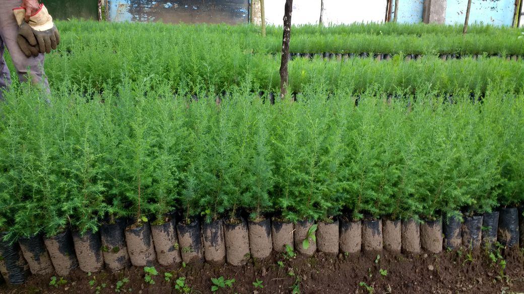 Cientos de plantas de cipreses que serán sembradas en la próxima época de lluvia en áreas degradadas de la Cordillera de Manantiales del Cerro Alux. (Foto Prensa Libre: Cortesía)