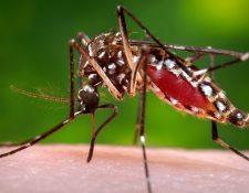 El mosquito Aedes aegypti transmite el zika, dengue y chikungunya. (Foto Prensa Libre: AP)