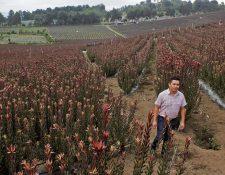 La finca Guatemalan Proteas, en Chicazanga, San Andrés Itzapa, Chimaltenango, cuenta con 9.5 hectáreas de cultivo de esta flor. (Foto Prensa Libre: Víctor Chamalé)