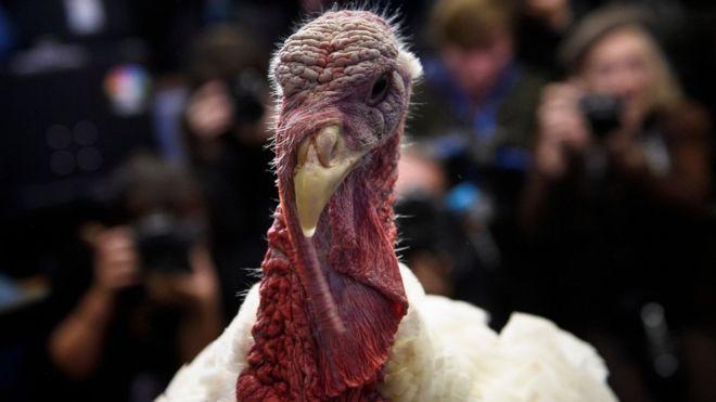 El pavo es el animal protagonista de la fiesta de Acción de Gracias en Estados Unidos. (GETTY IMAGES)