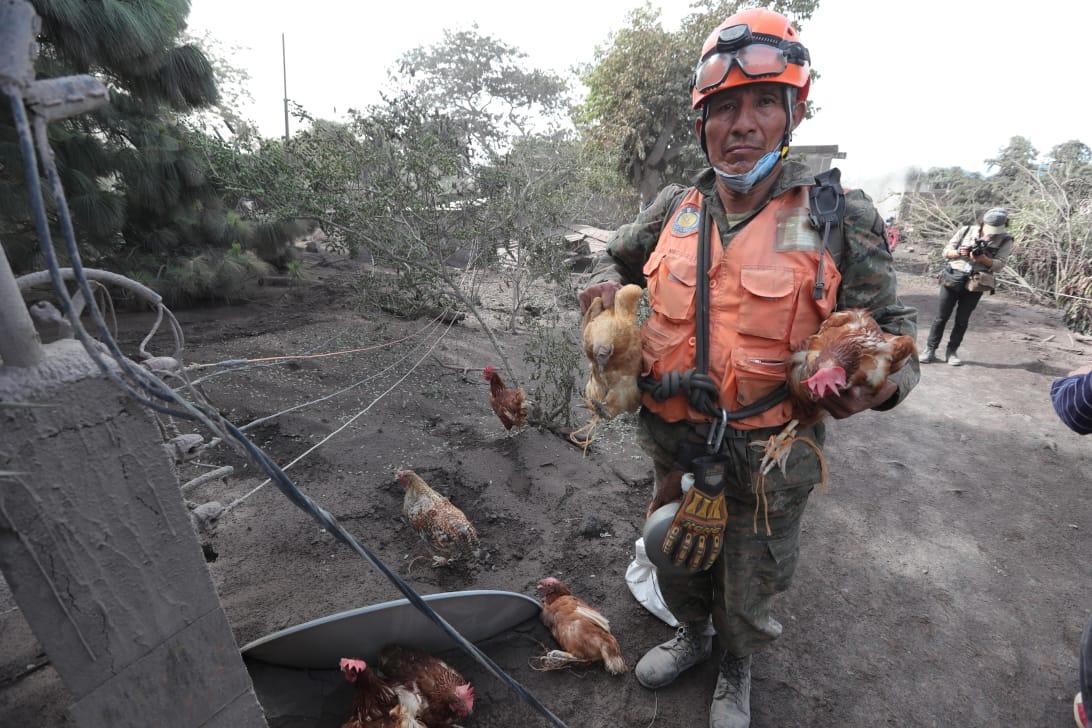 Animales de granja son llevados a las afueras de la zona cero.