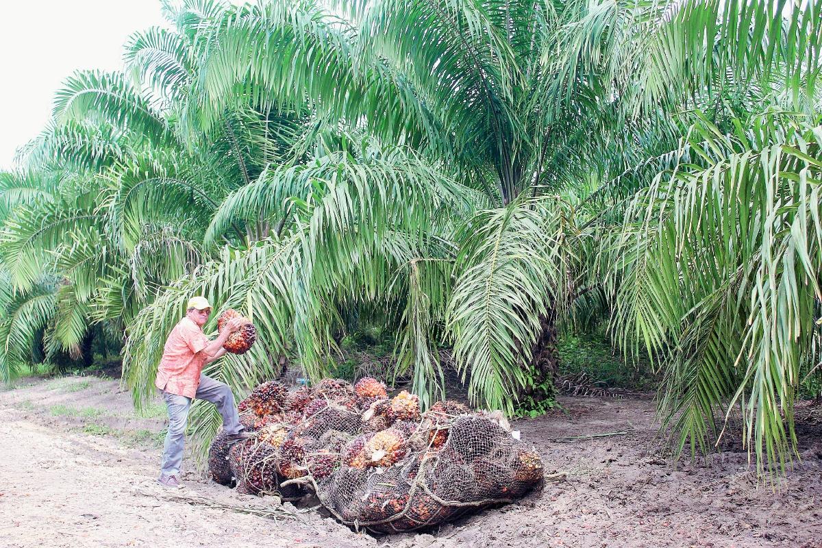 Palma africana causa polémica