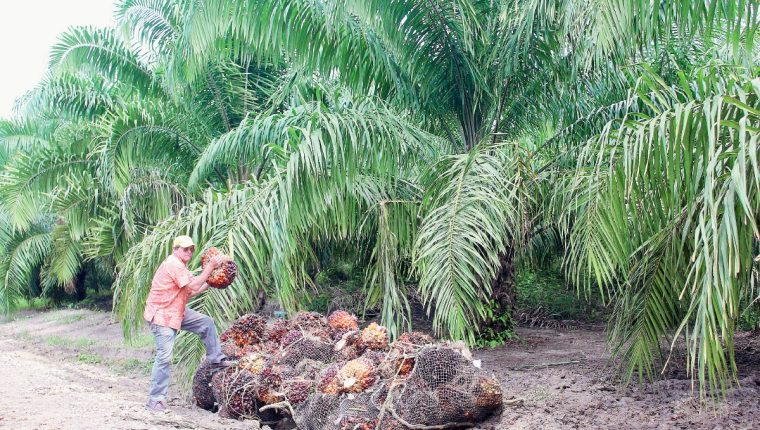 Repsa posee  grandes cantidades de tierra en Sayaxché, Petén, para el cultivo de palma africana. Foto Prensa Libre: Rigoberto Escobar)