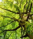 Un árbol reduce en su entorno entre un 7 por ciento y un 24 por ciento del material particulado, uno de los tipos más dañinos de contaminación. (Foto, Thinkstock)