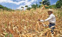 Pérdidas en cultivos podrían registrarse este año, debido a la variabilidad del clima y posibilidad de un nuevo período de sequía.