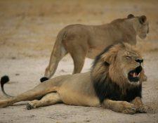 Foto de archivo del león Cecil, cazado por un dentista estadounidense en Zimnbabue. (Foto Prensa Libre: AFP)