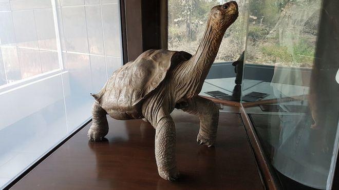 El solitario Jorge era el último de su especie. Sus cuidadores intentaron sin éxito que se reprodujera con hembras de una especie parecida. DIRECCIÓN DEL PARQUE NACIONAL GALÁPAGOS