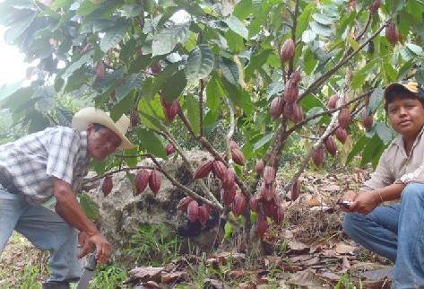 El país cuenta con unos dos mil productores, principalmente pequeños y medianos; las plantaciones más grandes tienen entre 40 y 60 hectáreas.(Foto Prensa Libre: Archivo).