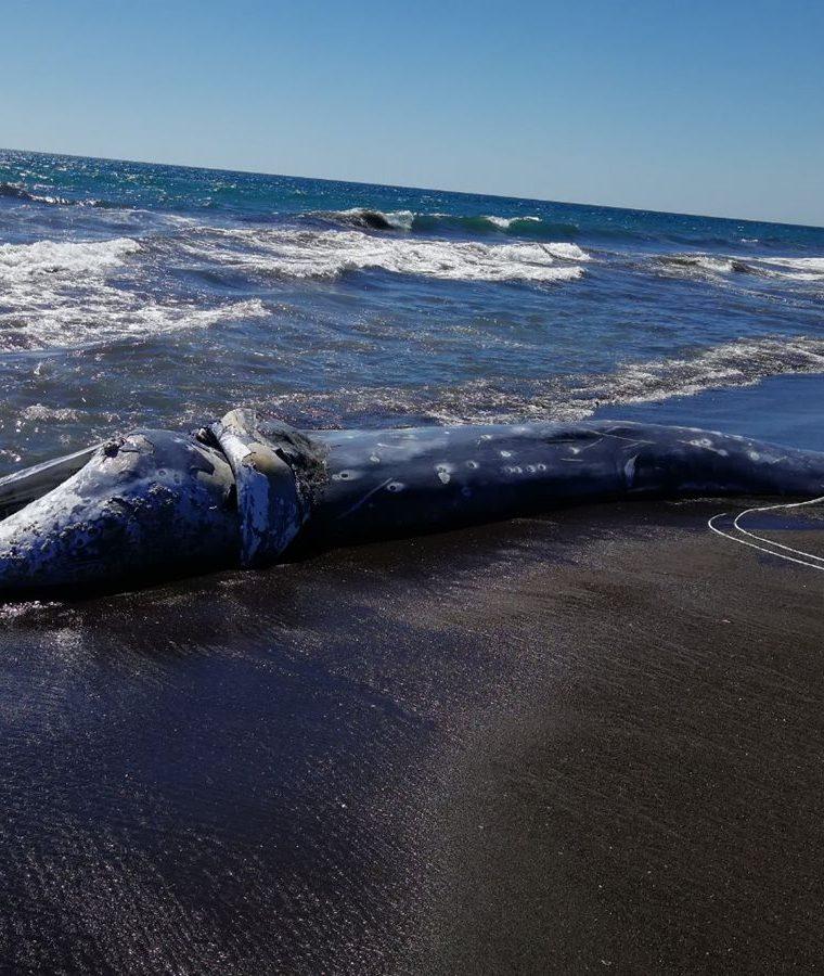 El cadáver de la ballena está en estado de descomposición. (Foto Prensa Libre: Enrique Paredes).