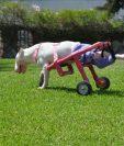 La silla de ruedas les ha devuelto la movilizad a las mascotas. (Foto Prensa Libre: Cortesía Luis Aldana)
