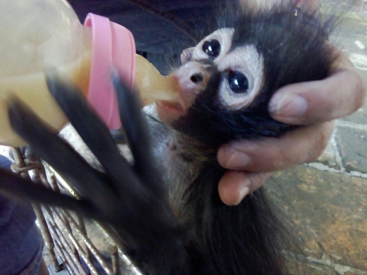 Conap rescata a mono araña y oso hormiguero de áreas residenciales