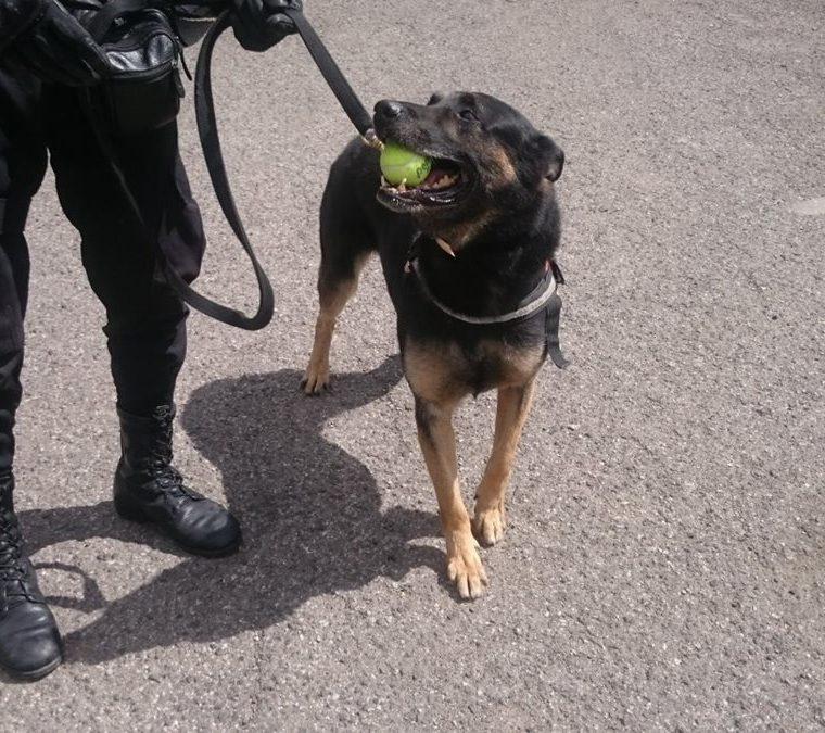 El agente canino jubilado Rambo, recibió todas las atenciones y cuidados durante su retiro. (Foto Prensa Libre: PNC)