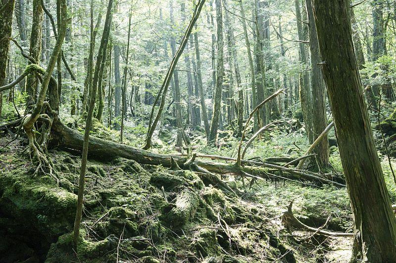 Bienvenidos a Aokigahara, el tenebroso bosque preferido para los suicidas en Japón