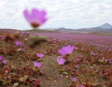 Inusual paisaje en el desierto de Atacama, Chile. (Foto Prensa Libre: AFP).