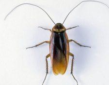 De las más de 4 mil especies de cucarachas que existen, unas 30 están presentes en hábitats humanos. (SPL)