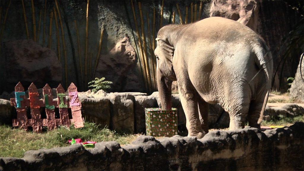 """El elefante """"Trompita"""" revisa su regalo."""