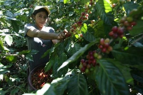 El corte de café es una actividad en la que se emplean los jornaleros temporales