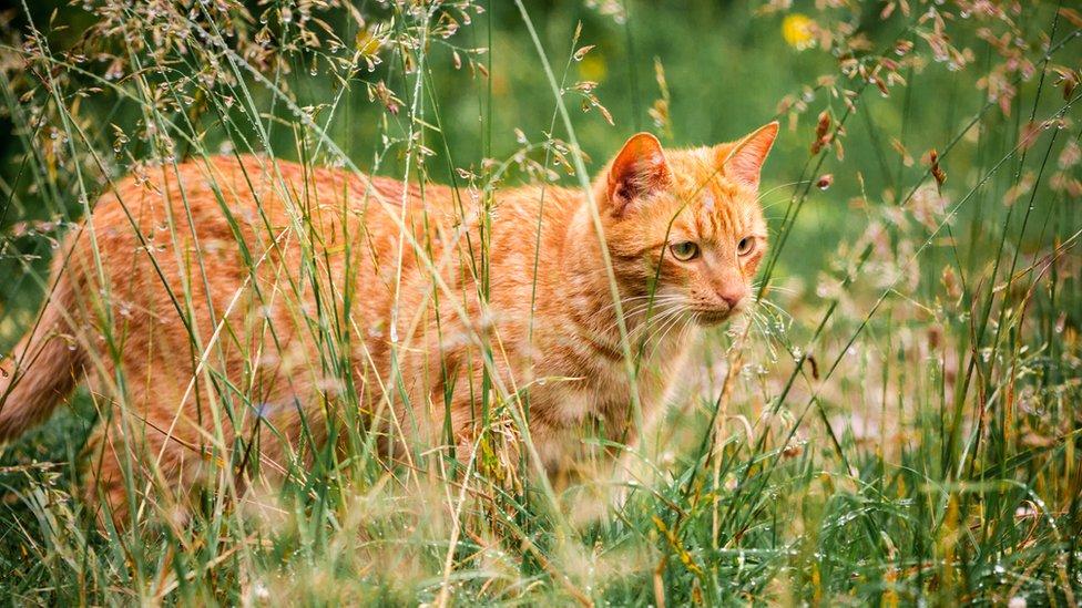 Algunos ambientalistas consideran que los gatos son responsables de la muerte de miles de millones de aves y mamíferos cada año. GETTY IMAGES