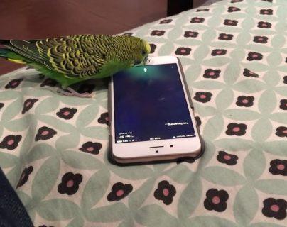 "Un perico ""activa"" Siri para poder tener con quién conversar"