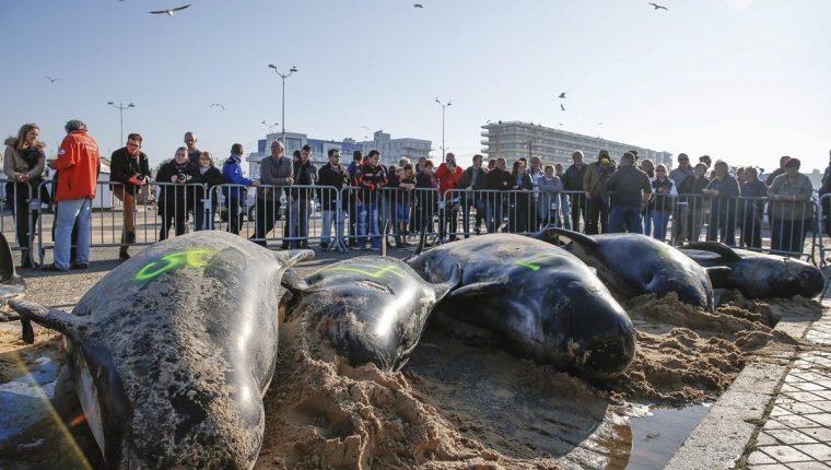 El grupo de 10 ballenas encalló este lunes en la playa de Calais, Francia.(Foto Prensa Libre: EFE).
