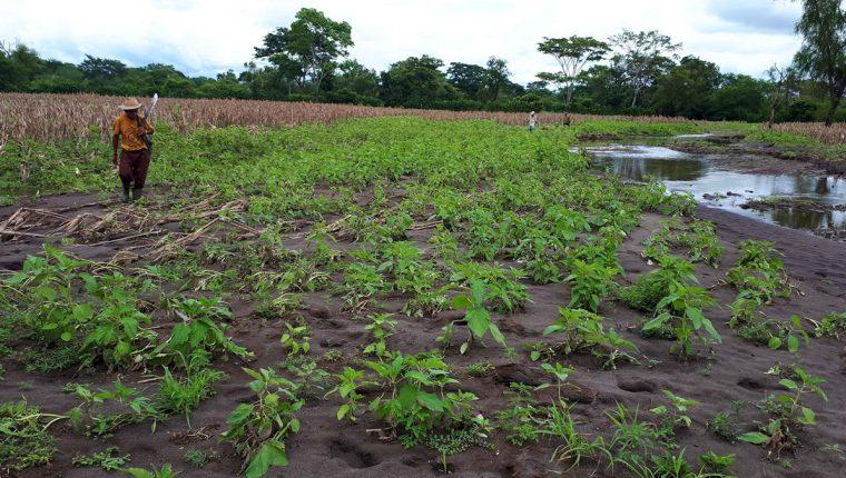 Agricultores de la comunidad agraria Santa Isabel, Retalhuleu, están preocupados por los daños en sus cultivos.(Foto Prensa Libre: Rolando Miranda)