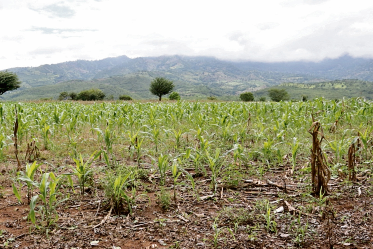 Agricultores temen perder sus cultivos