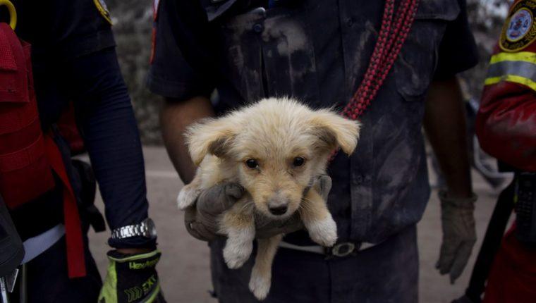 Cachorro rescatado por los cuerpos de socorro en San Miguel Los Lotes, Escuintla, lugar que resultó más afectado por la erupción del Volcán de Fuego. (Foto Prensa Libre, AFP).