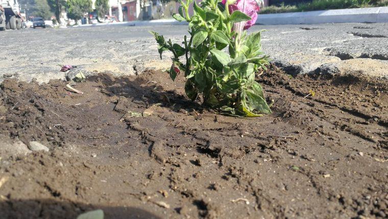 Siembran flores en los agujeros de la 6a. calle, zona 3 de Xela, como un mensaje al Concejo, para que repare las calles del sector. (Foto Prensa Libre: Fred Rivera)