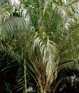 la Palma africana está considerada como uno de los cultivos más importantes en el país.