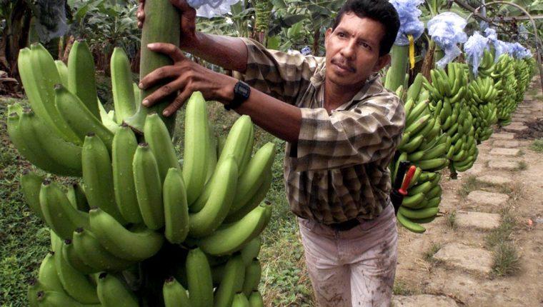 Las autoridades implementaron medidas cuarentenarias para la protección del banano, luego que se detectó un brote de una enfermedad que ataca al fruto. (Foto Prensa Libre: Hemeroteca)