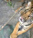 Tigre hallado en Suchitepéquez fue entregado a zoológico La Aurora. (Foto Prensa Libre: Cortesía Conap)