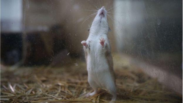Los ratones no suelen tener vellos en sus patas. (GETTY IMAGES)