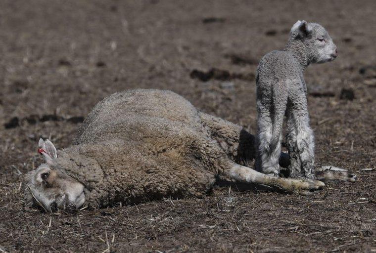 Una cría de cordero permanece junto al cuerpo sin vida de su madre en una granja en Braidwood, Nueva Gales del Sur, Australia). (Foto Prensa Libre: EFE)