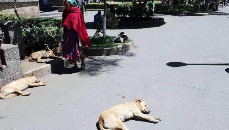 Una mujer camina por el parque central de Quetzaltenango en medio de varios perros. (Foto Prensa Libre: Carlos Ventura)