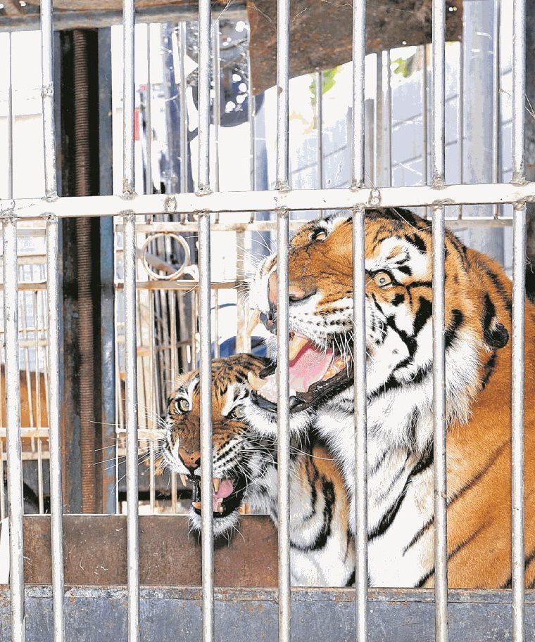 Tigres al cuidado del circo Hermanos Ponce, en El Jocotillo, Villa Canales. (Foto Prensa Libre: Hemeroteca PL)