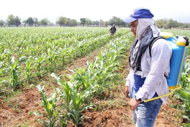 Nuevas semillas fortificadas del ICTA para combatir el hambre