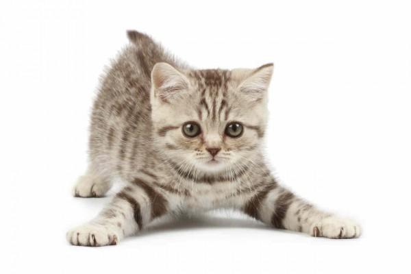 Para formar un lazo sólido con su gato, es necesario que aprenda a interpretar sus emociones. (Foto Prensa Libre: anipedia.net)