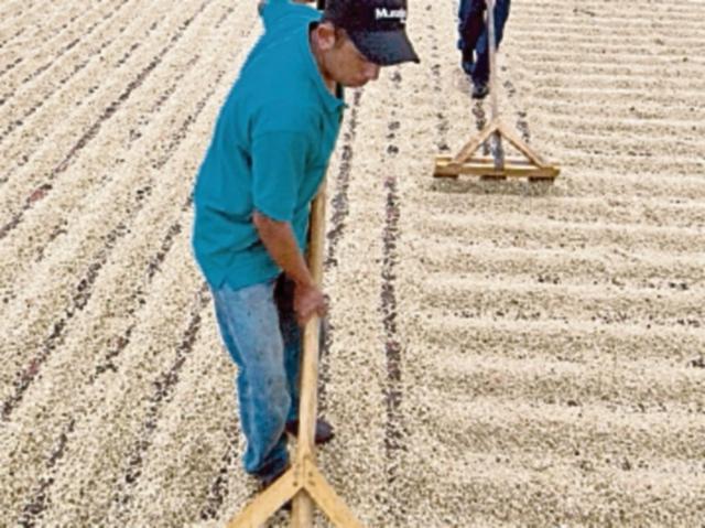 Año cafetalero cierra en 3.9 millones de quintales