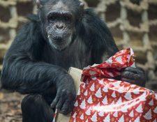 El estudio sugiere que los chimpancés no suelen ser solidarios si no perciben un beneficio para ellos. (Foto Prensa Libre: AP).