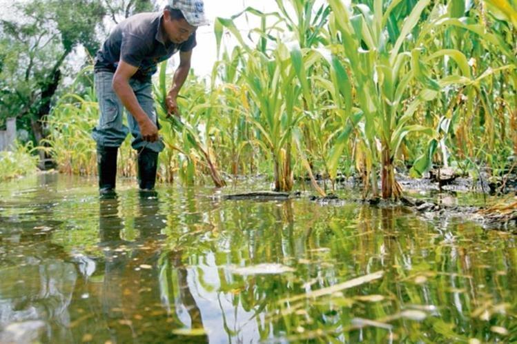 Lluvia podría traer plagas al café y cultivos del país
