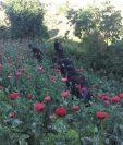 Agentes de la PNC destruyen plantación de amapola. (Foto Prensa Libre: Hemeroteca PL)
