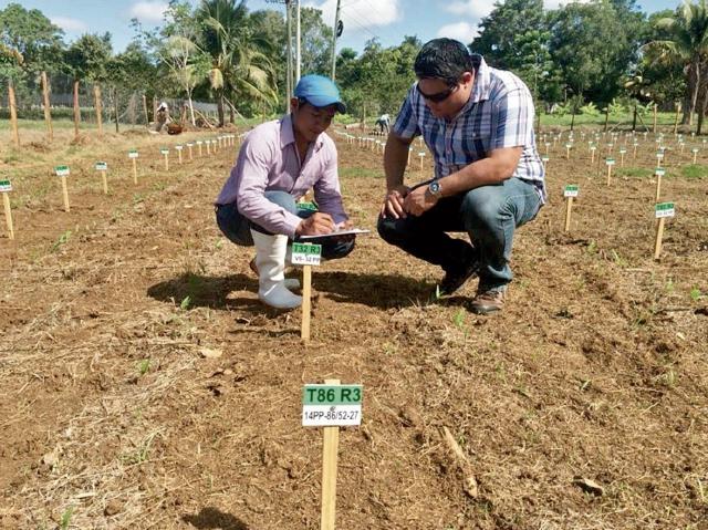 Agricultores y técnicos creen que el cultivo del gandul puede ayudar a mejorar la seguridad alimentaria, pues resiste perfectamente las sequías. (Foto Prensa Libre: Cortesía)