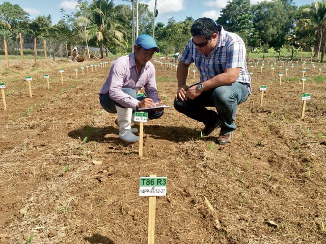 Gandul, el cultivo resistente a la sequía y clave contra la desnutrición