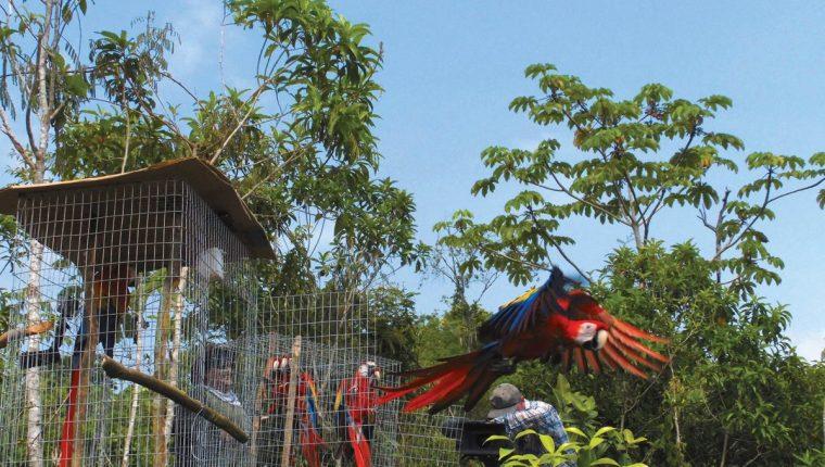Varias guacamayas rojas que han sido rescatadas por Arcas son liberadas en la selva de Petén, luego de haber sido sometidas a un proceso de readaptación. (Foto Prensa Libre: Cortesía Arcas)