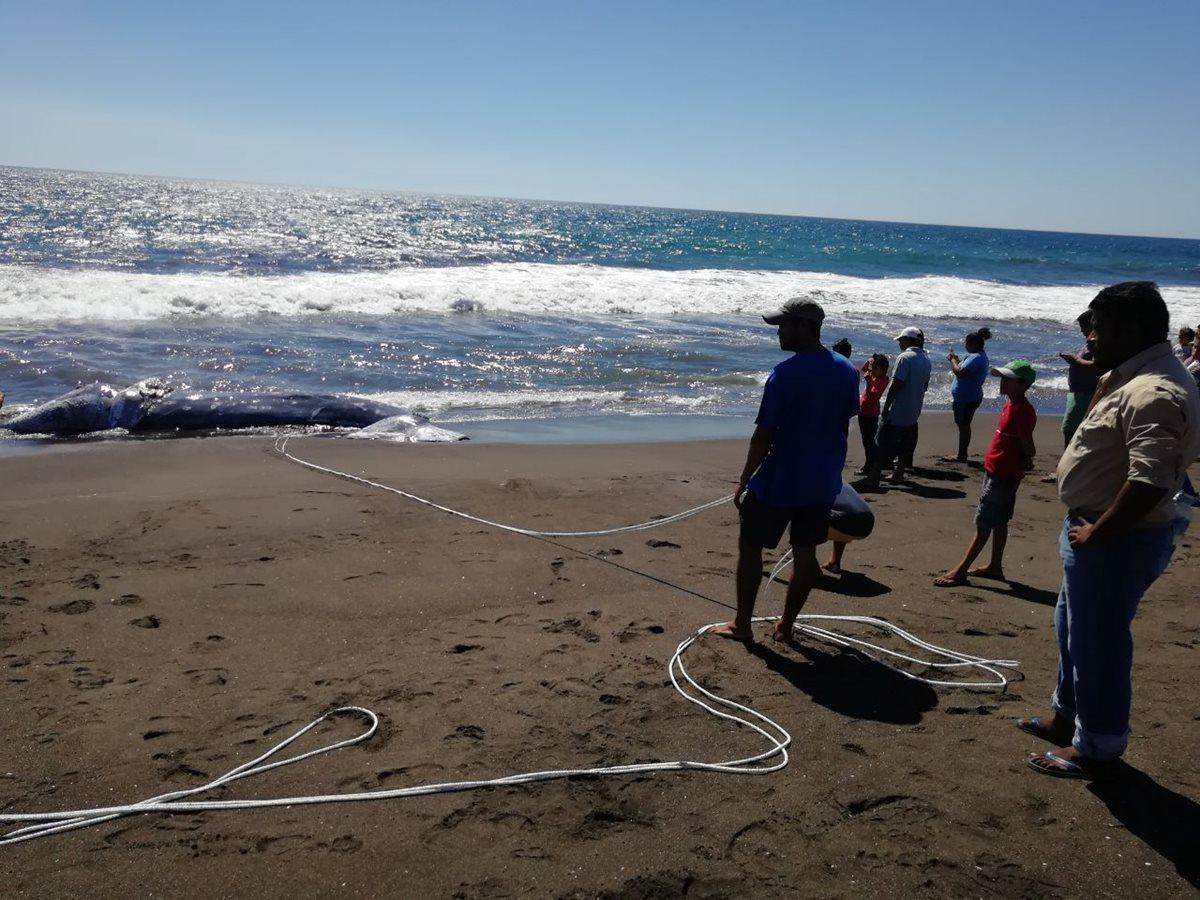 Ballena jorobada es localizada muerta en playa El Pumpo, Taxisco