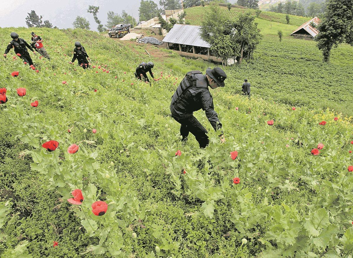 El cultivo de amapola se mantiene como una causa de los enfrentamientos entre Ixchiguán y Tajumulco. (Foto Prensa Libre: HemerotecaPL)