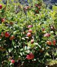 Productores de manzana muestran cosecha en áreas de Chichicastenango, donde se calculan pérdidas millonarias.