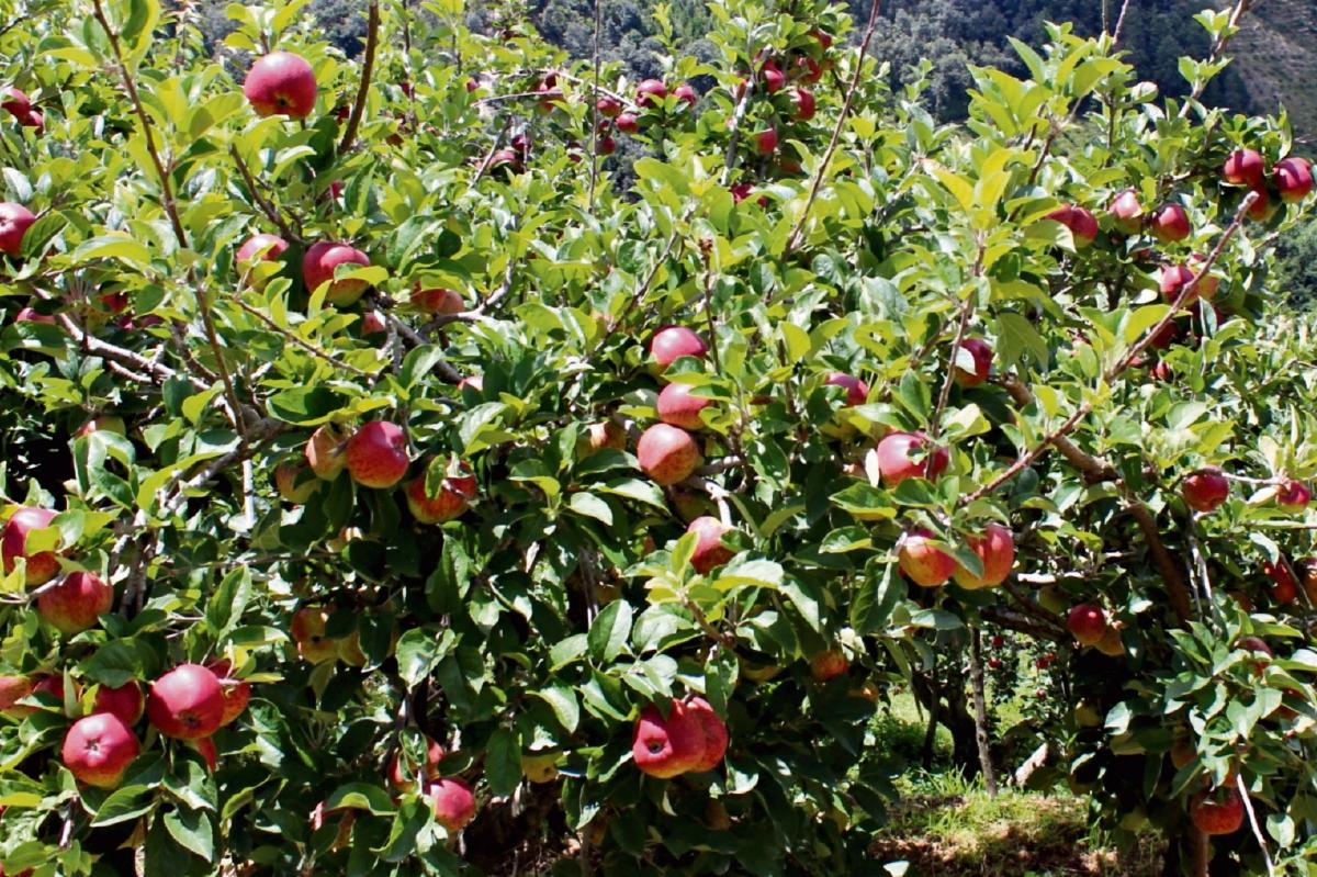 Baja la producción de manzana en 25%